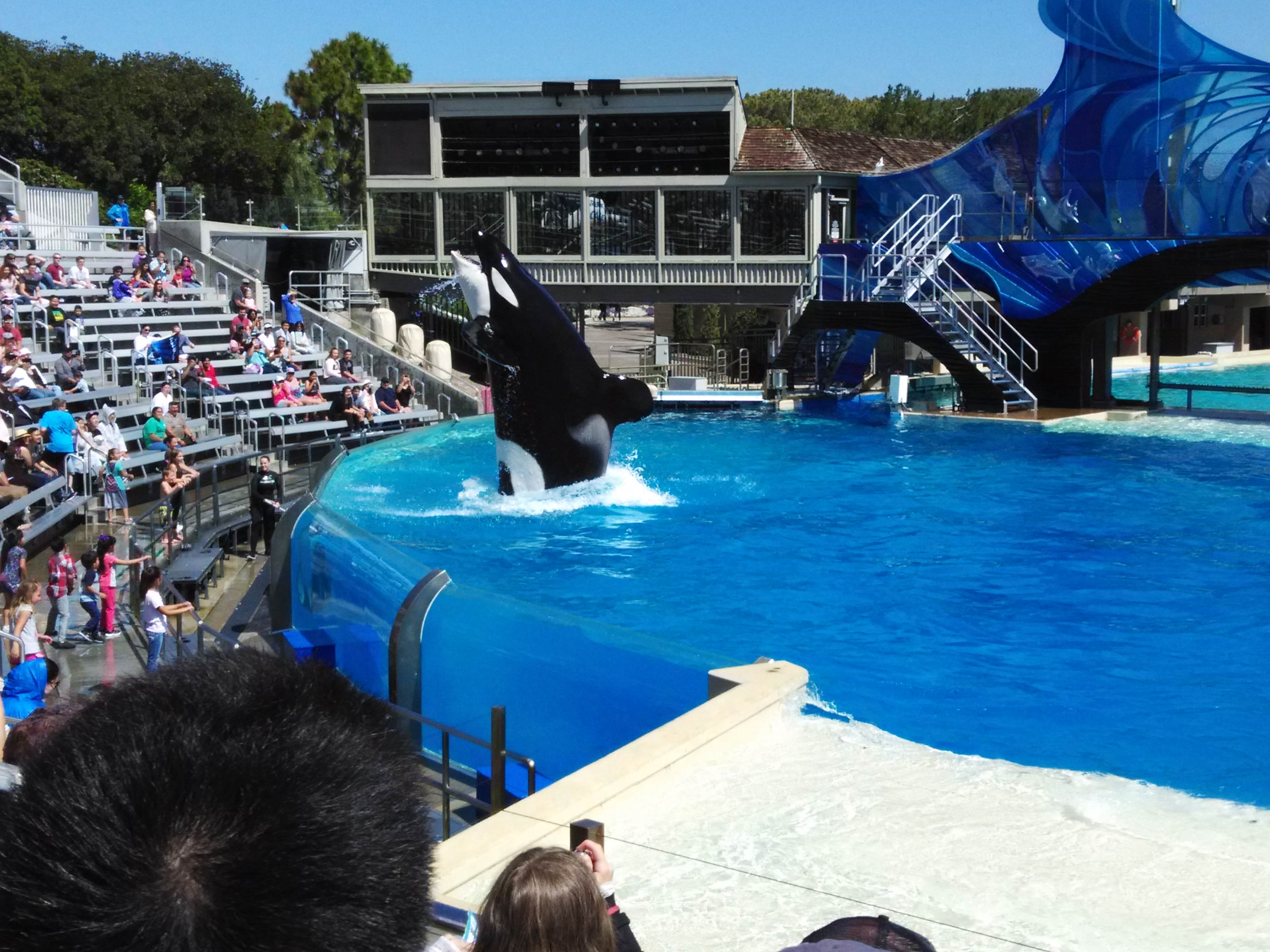 Killer Whale Waving San Diego SeaWorld