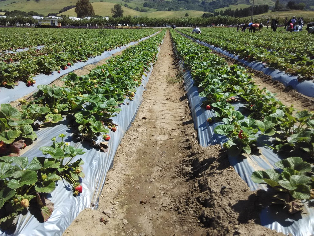 Rows of Strawberries at Gizdich Ranch Watsonville California