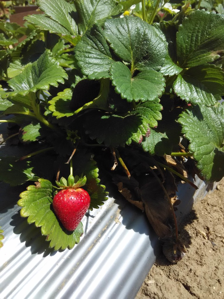 Fresh Strawberry waiting to be picked!