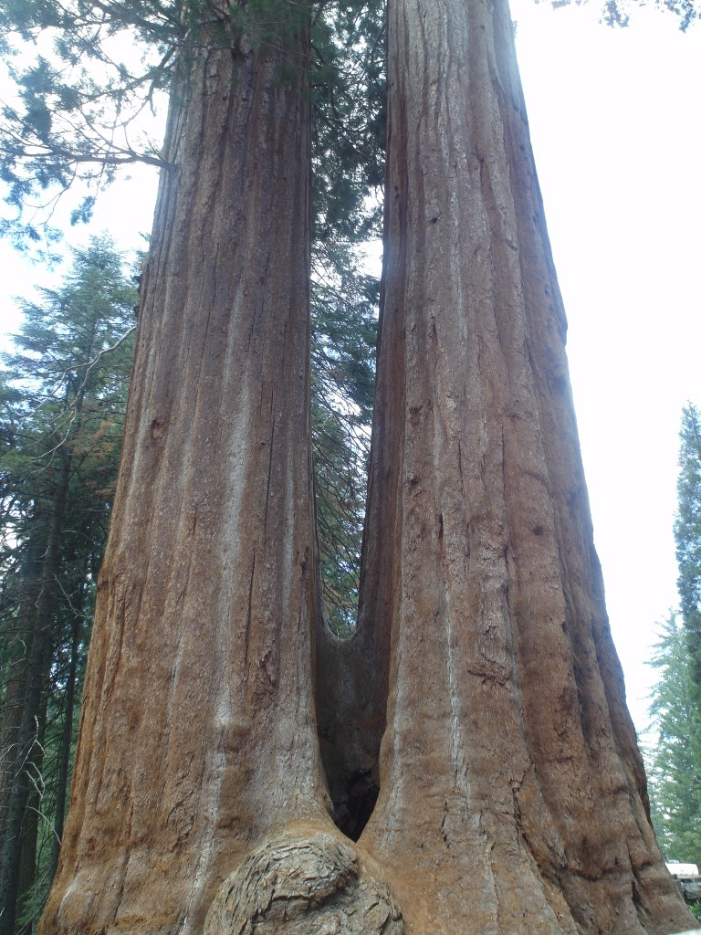 Double Trunks Sequoia National Park