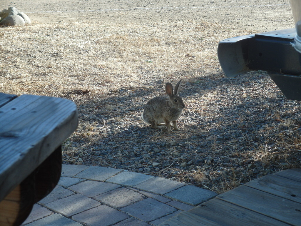 Rabbits galore at Mercey Hot Springs